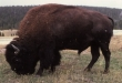 Ted Turner Can Keep Yellowstone Bison